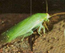 Тараканы тропического леса