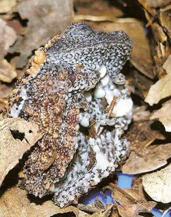 Theloderma sp.